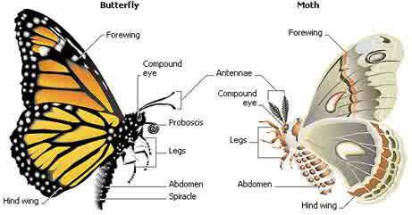 kupu-kupu dan ngengat