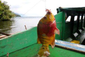 Ikan Louhan di danau Matano