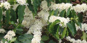 bunga kopi arabika